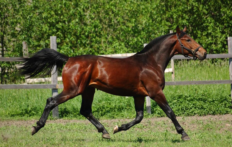 Лошадь голштинской породы