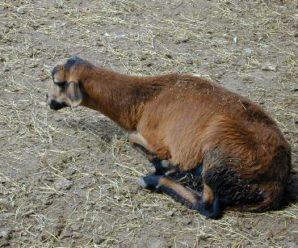 Паразитарные, инфекционные и незаразные болезни овец, их симптомы и лечение