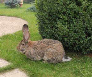 Порода кроликов ризен: как ухаживать за немецкими великанами