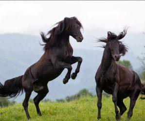 Карачаевские лошади – легендарные кавказские скакуны