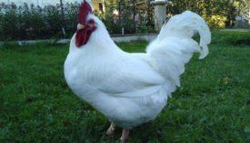 Корниш порода кур