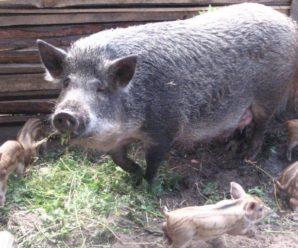 Свиньи породы Мангал: особенности содержания, разведения и ухода