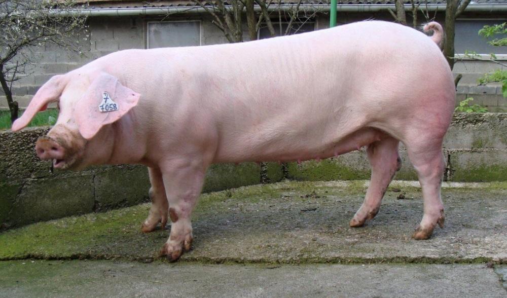 свиньи ландрас фото основные внутренние