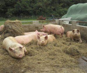 Разведение свиней в домашних условиях: советы для начинающих свиноводов