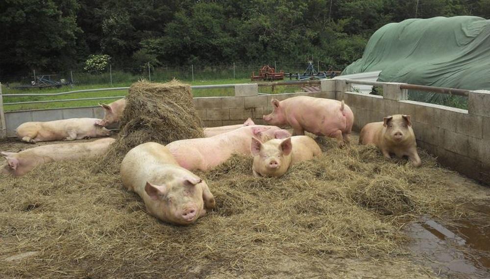 Свиньи на сене
