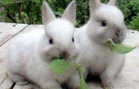 Крольчата жуют траву
