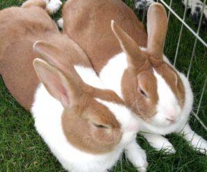 Как и зачем кастрировать кролика: плюсы и минусы процедуры, показания к операции