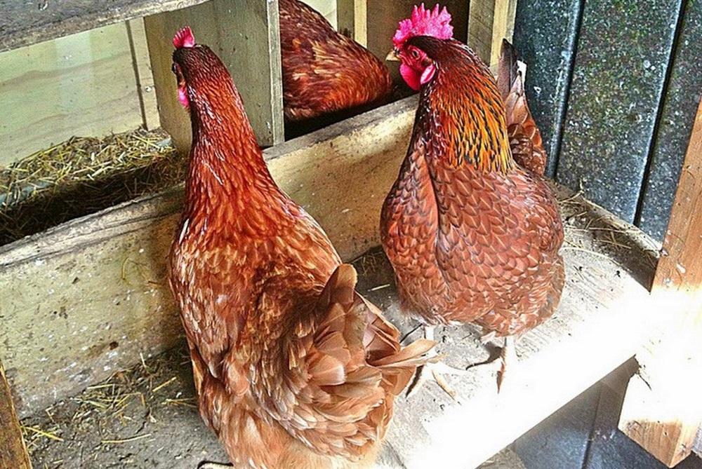 Курицы около гнезда