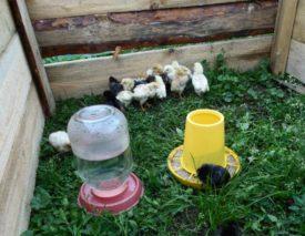 Цыплята на траве