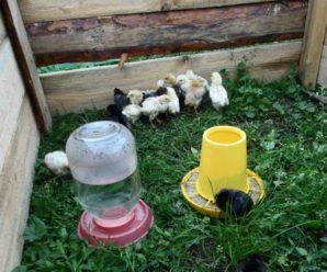 Когда можно выпускать цыплят на улицу: советы и рекомендации