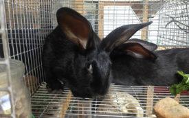 Черно бурый кролик в клетке