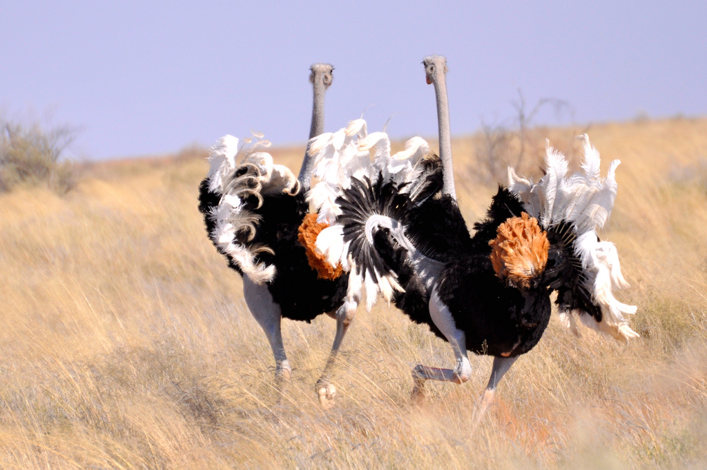 У страусов яркие перья