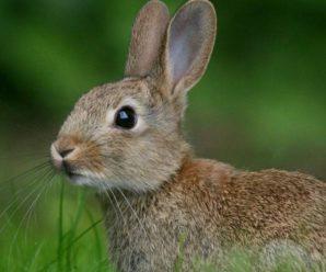 Заяц и кролик: сходства и различия