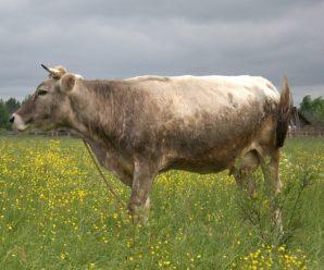 Костромская порода коров – высокая продуктивность и крепкое здоровье