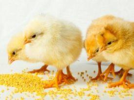 Кормление цыплят несушек