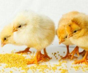 Все о кормлении цыплят несушек от рождения до взросления