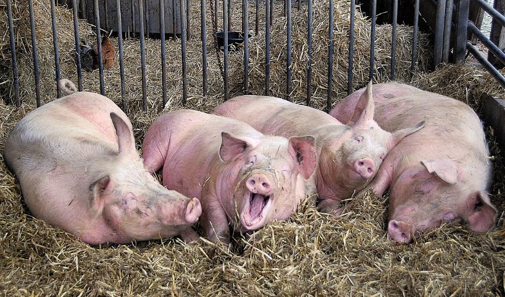 Свиньи на соломе