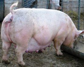 Супоросная свинья ест