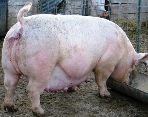 свинья не до конца опоросилась подойдут