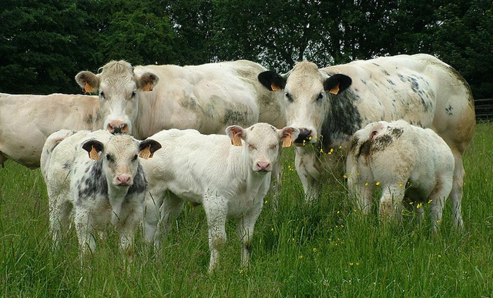 Бельгийские голубые коровы и телята