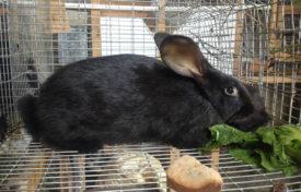 Питание Черно бурого кролика