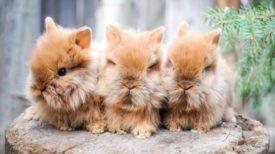 Львиноголовые крольчата