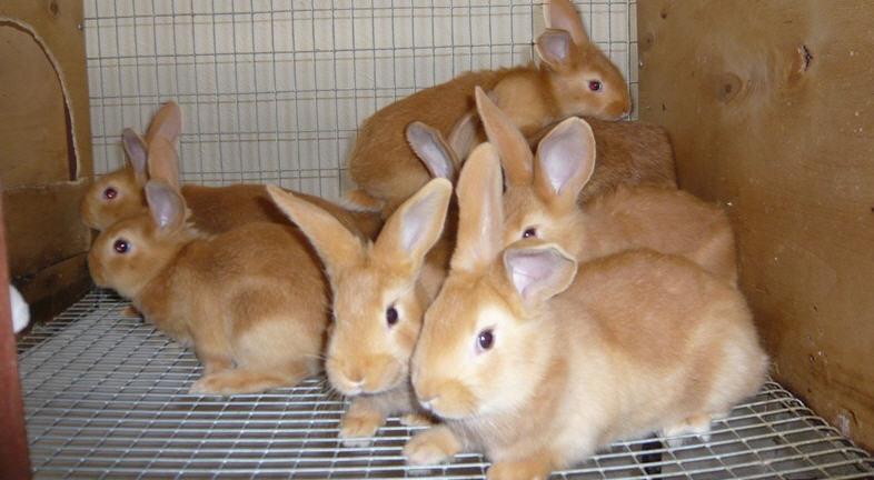 Разведение бургундских кроликов