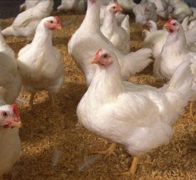 Здоровые бройлерные курицы