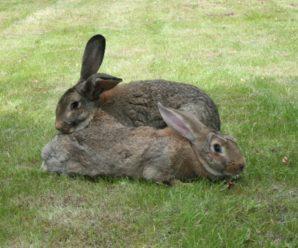 Порода кроликов фландр: описание и правила содержания животных–гигантов