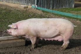 Свинья Ландрас кушает