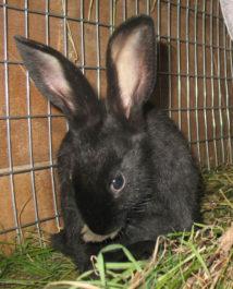 Выбор Черно бурого кролика