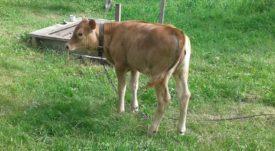 Разведение джерсейской породы коров