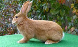 Как выбрать бургундского кролика