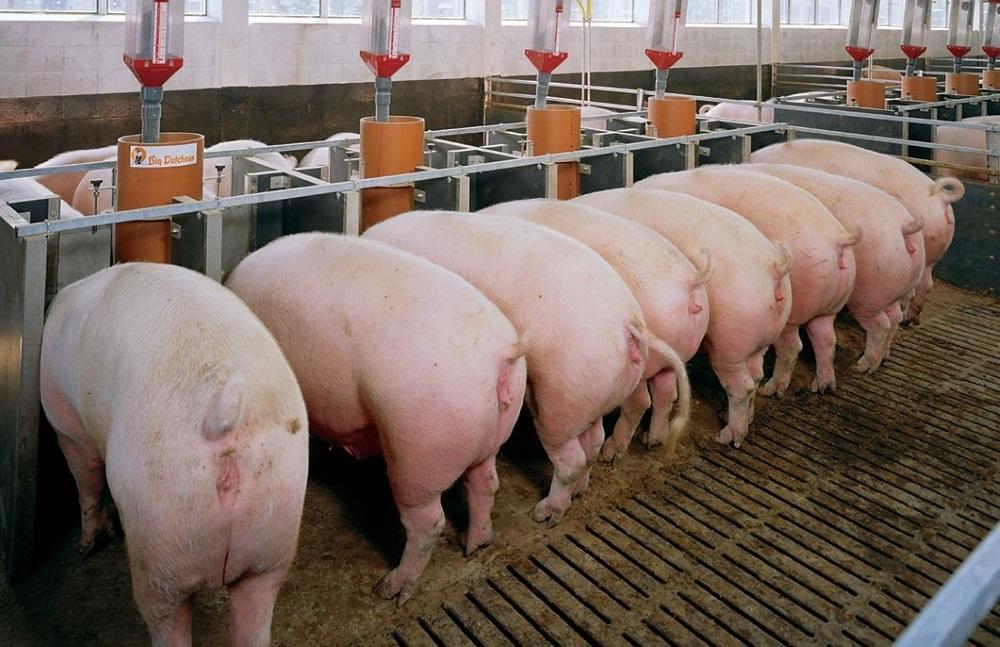 Свиньи Ландрас у кормушек
