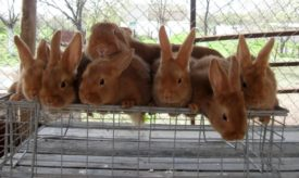 Крольчата новозеландской породы