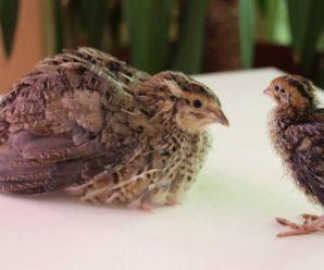 Перепела эстонской породы: описание внешности и особенности содержания птицы