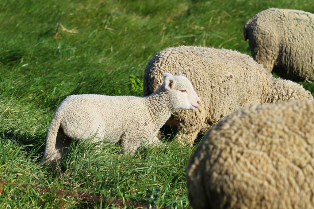 Куйбышевские овцы с детенышем