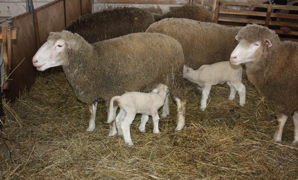 Овцы и ягнята