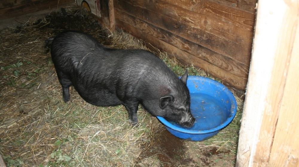Свинья пьет