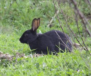Черно бурый кролик – совокупность ценного меха и деликатесного мяса
