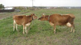 Плюсы и минусы джерсейского скота