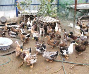 Разведение уток в домашних условиях: рекомендации опытных птицеводов для начинающих