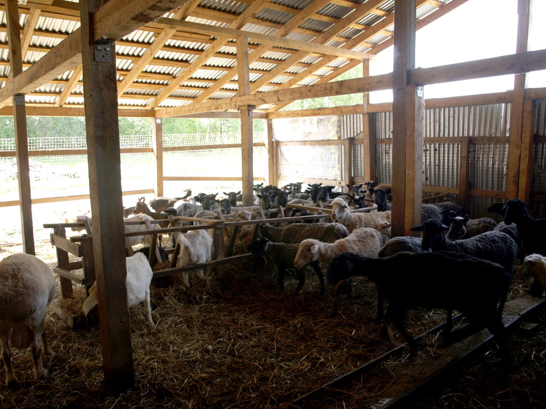 Выращивание овец в загоне 6