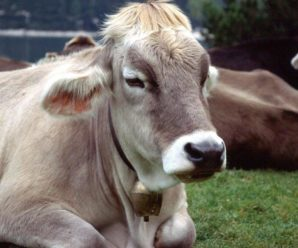 Болезни коров после отела: лечение и профилактика