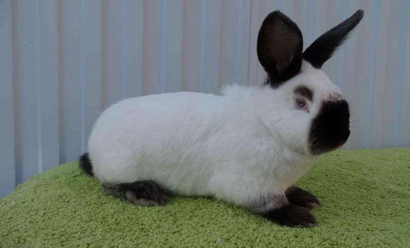что калифорнийская порода кроликов описание с фото сажают