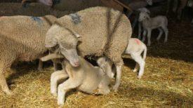 Овца с малышом