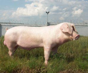 Порода свиней ландрас: характеристика, содержание, разведение, уход