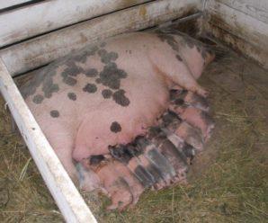 Опорос свиней в домашних условиях: оказание помощи и уход за свиноматкой