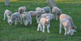 Овцы-медалисты