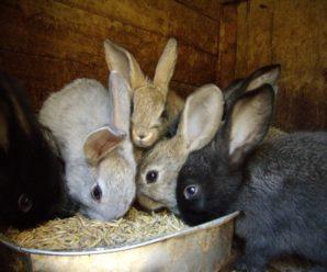 Как и чем нужно кормить кроликов зимой в домашних условиях